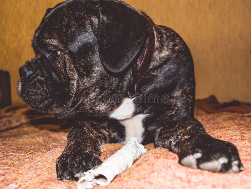 Игры большой и черной собаки с ручкой дома Порода Kan Corso, французского бульдога прозвищем Lesya симпатичный любимчик стоковое фото