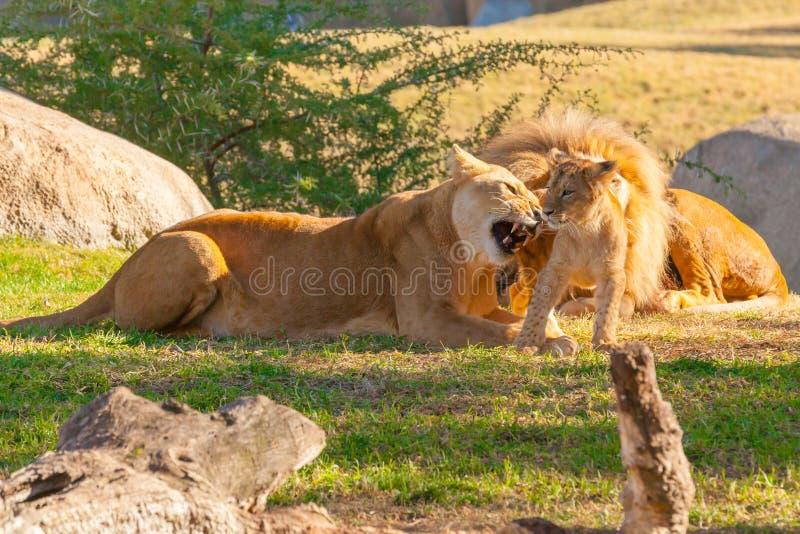 Игры львицы с ее новичком стоковое изображение