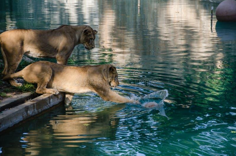 Игры львицы с шариком стоковое фото rf