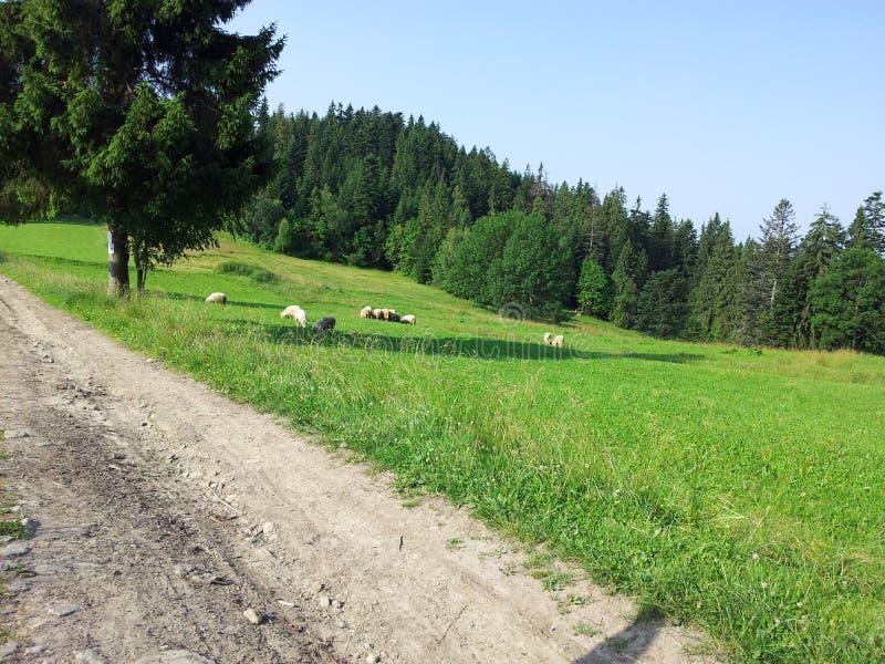 Игры овец стоковая фотография