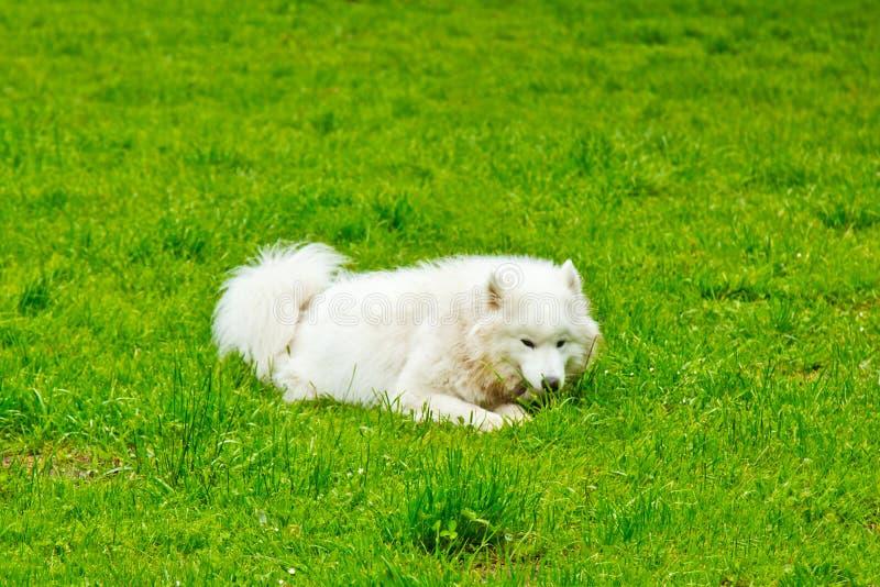 Игры пушистой белой породы собаки sammy счастливо на зеленой лужайке идти любимца стоковая фотография