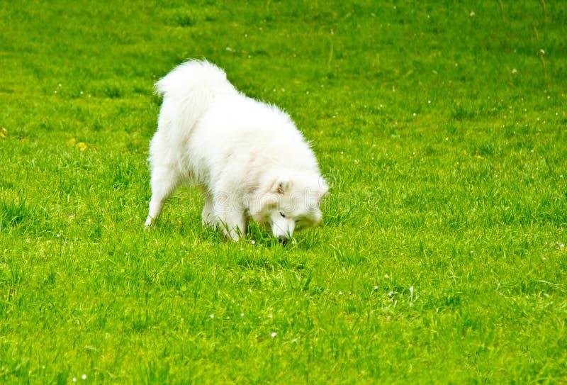 Игры пушистой белой породы собаки sammy счастливо на зеленой лужайке идти любимца стоковые изображения