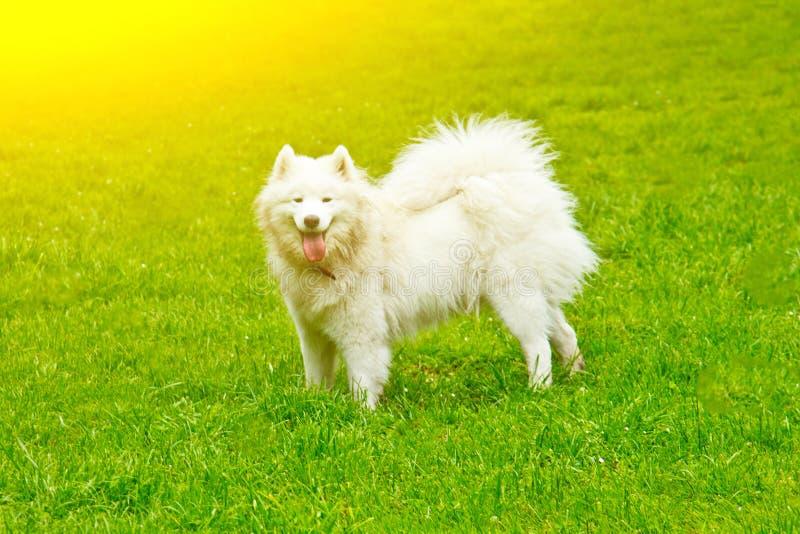 Игры пушистой белой породы собаки sammy счастливо на зеленой лужайке идти любимца стоковое фото