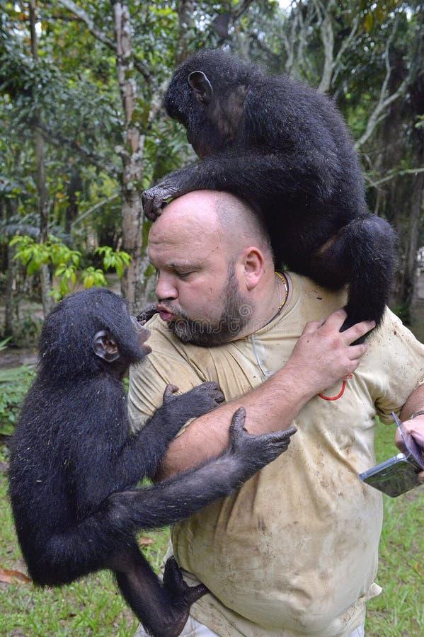 Игры человека с карликовым шимпанзе Карликовый шимпанзе (paniscus лотка) стоковые фотографии rf