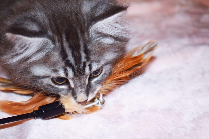 Игры tabby Bobtail котенка Kurilian голубые серебряные стоковые изображения