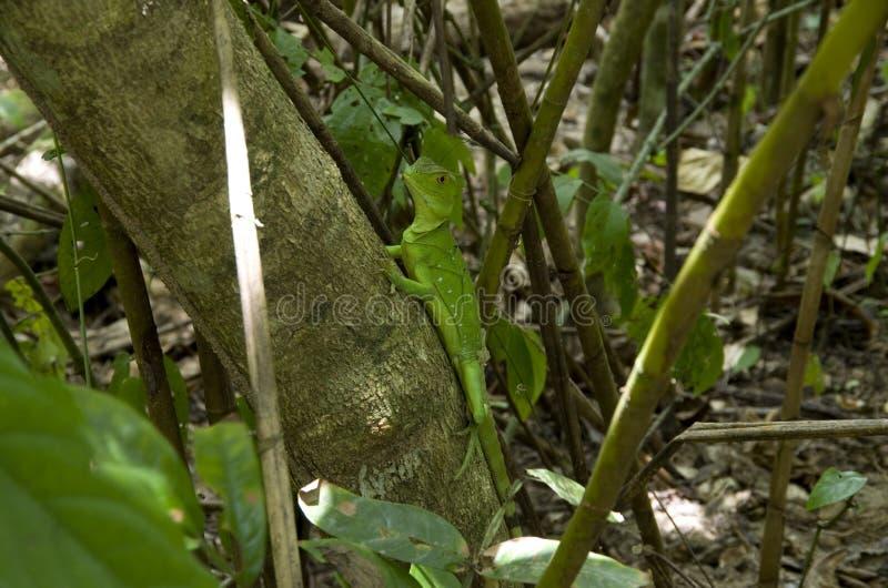 Игуана в зеленом цвете стоковое фото