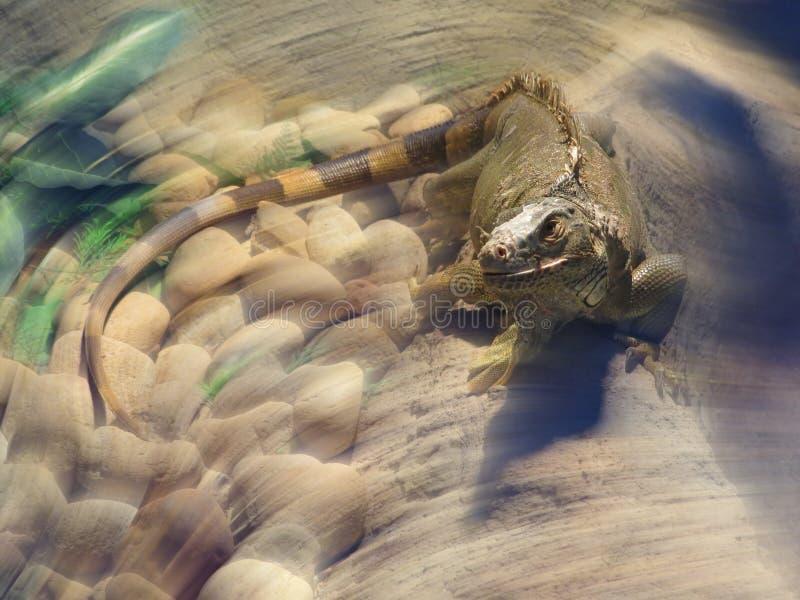 Игуана в зоопарке, вытаращить зритель стоковые изображения rf