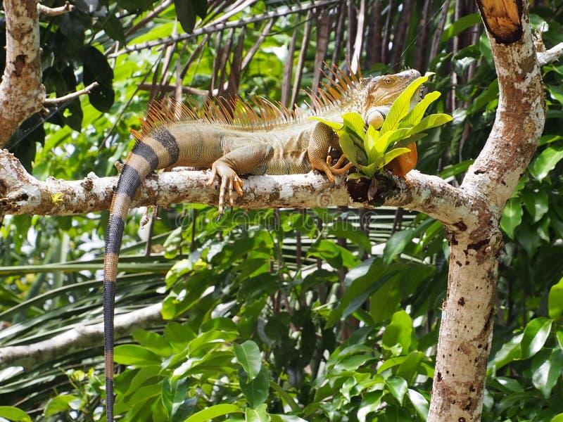 Игуана в Костарика стоковые изображения rf