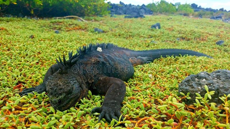 Игуана моря стоковые изображения rf