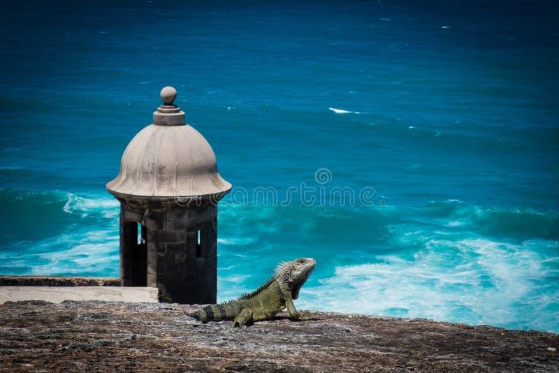 Игуана на крепости Пуэрто-Рико стоковое изображение