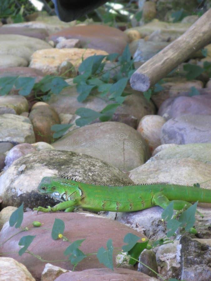Игуана на утесах стоковое изображение rf
