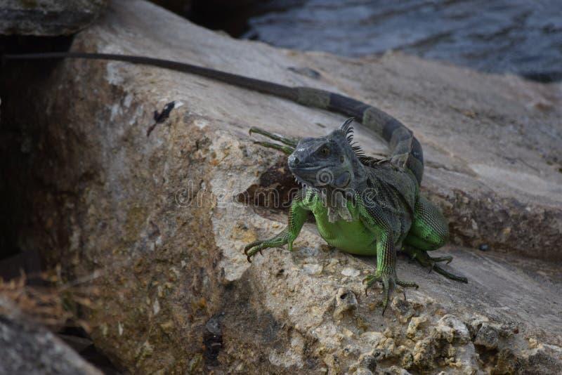 Игуана на утесах стоковая фотография rf