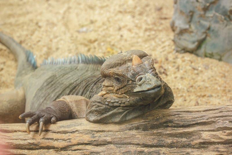 Игуана носорога редкое дикое животное стоковое изображение rf