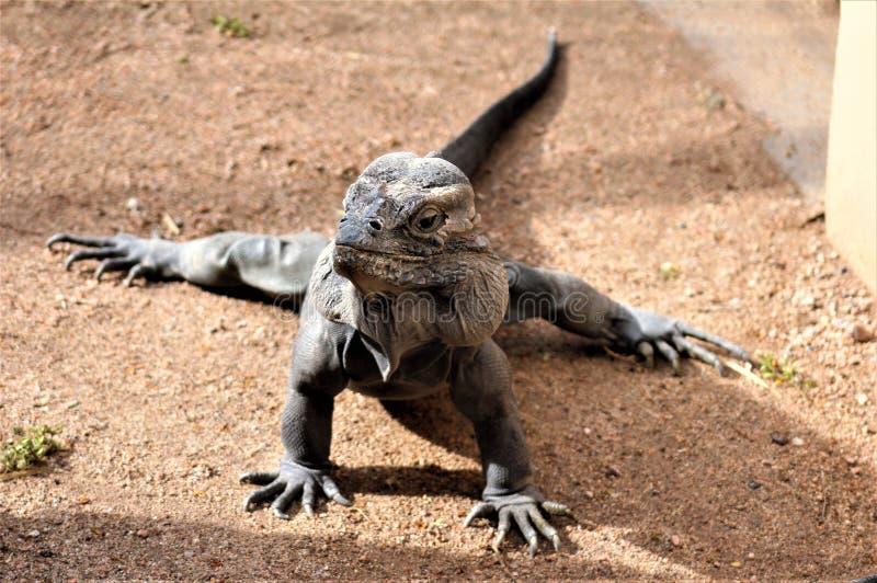 Игуана носорога, Cyclura Cornuta, зоопарк Феникса, Феникс, Аризона, Соединенные Штаты стоковая фотография rf