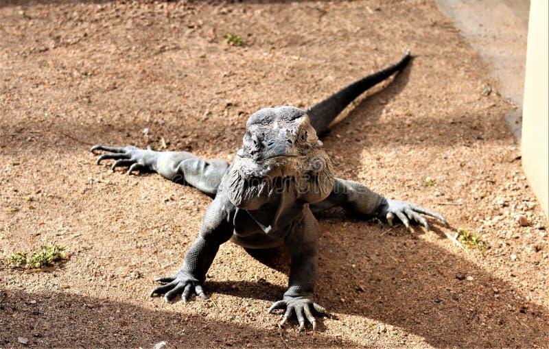 Игуана носорога, Cyclura Cornuta, зоопарк Феникса, Феникс, Аризона, Соединенные Штаты стоковое фото