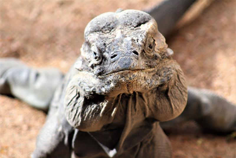 Игуана носорога, Cyclura Cornuta, зоопарк Феникса, Феникс, Аризона, Соединенные Штаты стоковая фотография