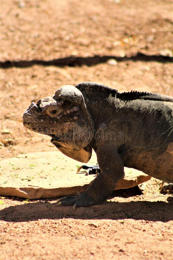 Игуана носорога, Cyclura Cornuta, Феникс, зоопарк, Феникс, Аризона, Соединенные Штаты стоковые изображения