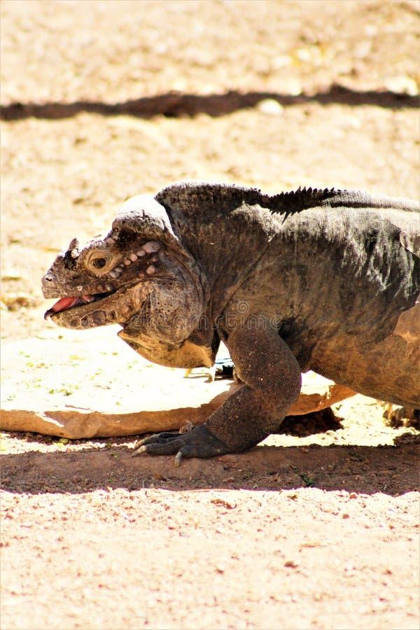 Игуана носорога, Cyclura Cornuta, Феникс, зоопарк, Феникс, Аризона, Соединенные Штаты стоковые фото