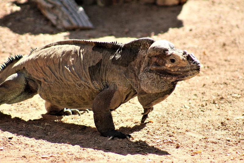 Игуана носорога, Cyclura Cornuta, Феникс, зоопарк, Феникс, Аризона, Соединенные Штаты стоковое фото rf