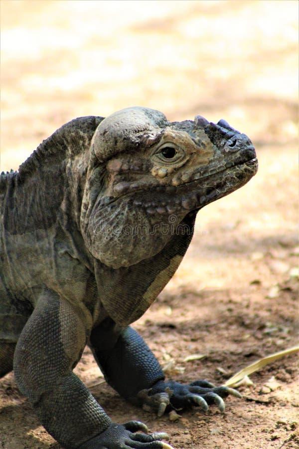 Игуана носорога, Cyclura Cornuta, Феникс, зоопарк, Феникс, Аризона, Соединенные Штаты стоковое изображение