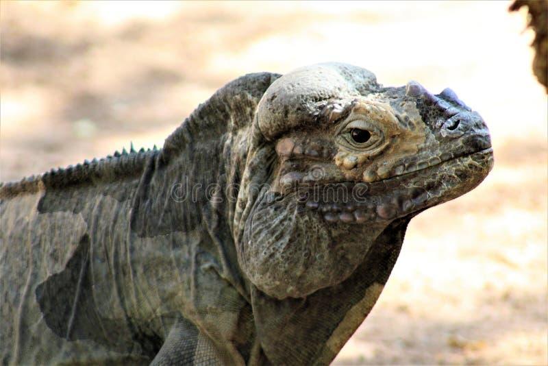 Игуана носорога, Cyclura Cornuta, Феникс, зоопарк, Феникс, Аризона, Соединенные Штаты стоковые фотографии rf