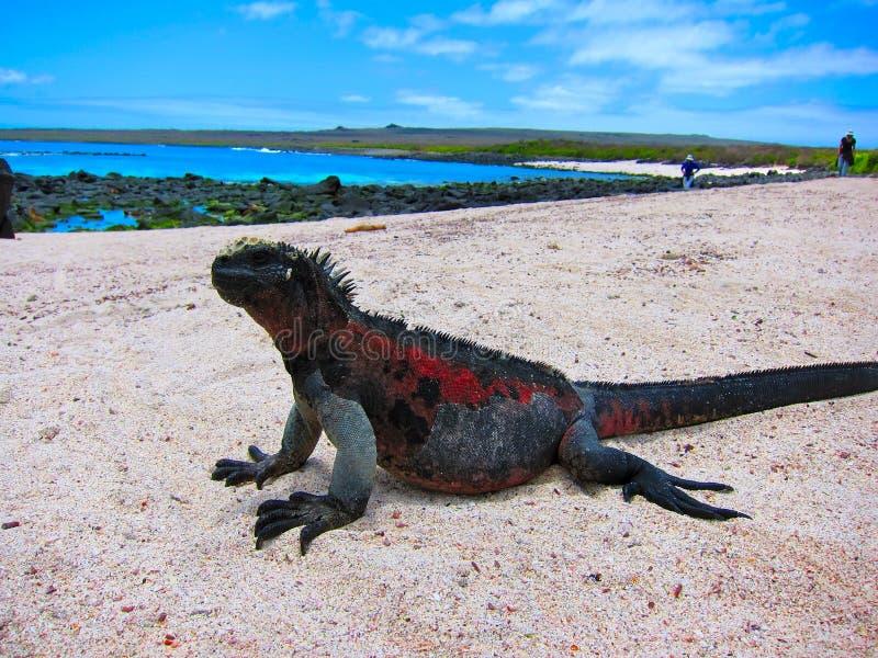 Игуана островов Галапагос морская стоковое изображение rf