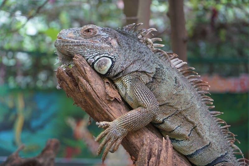 Игуана отдыхает на ветви стоковое изображение