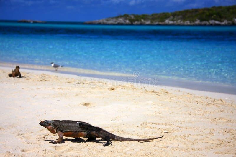 игуана пляжа стоковые фотографии rf