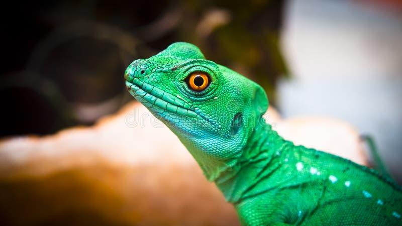 Игуана ящерицы стоковое изображение rf
