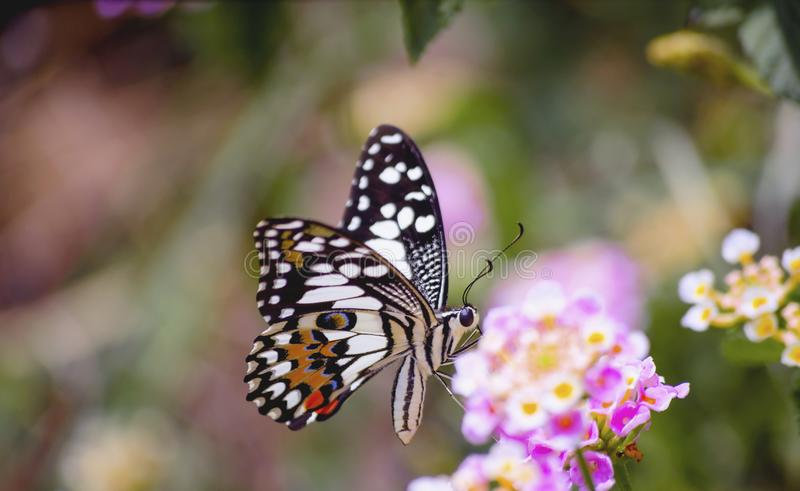 Идеальная бабочка на свежих розовых цветках в саде стоковые фото