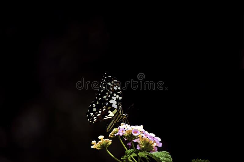 Идеальная темная светлая бабочка на свежих розовых цветках в саде стоковое фото