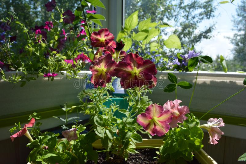 Идеальный зацветая сад на балконе Домашний зеленеть Яркие цветки петуньи растут в контейнерах стоковые фото
