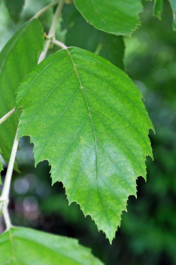 Идентификация дерева: Лист дерева березы реки стоковое изображение rf