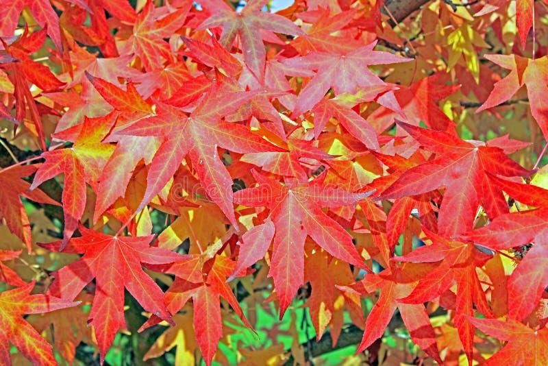 Идентификация дерева: Лист дерева лист Sweetgum стоковые фотографии rf
