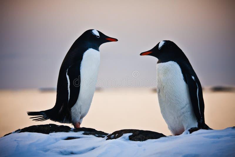идентичные пингвины 2 стоковая фотография rf