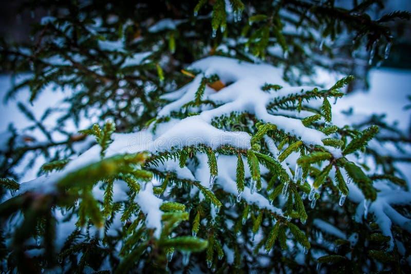Идите снег на ветвях спруса в лесе перед Новым Годом стоковые фотографии rf