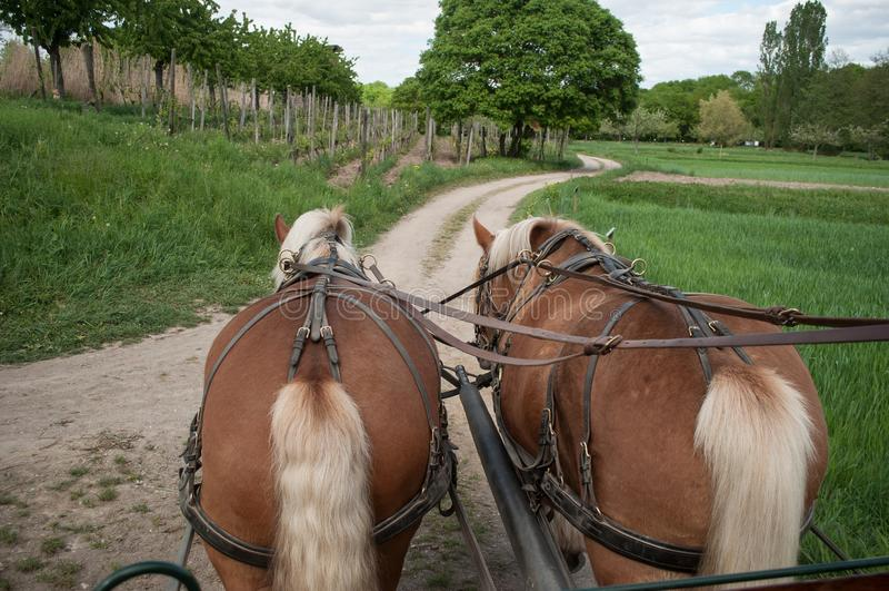 Идти 2 коричневый лошадей прицепленный к экипажу стоковая фотография rf