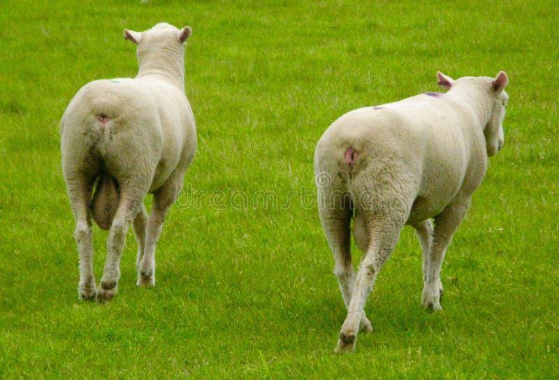 Идти овец стоковое фото rf