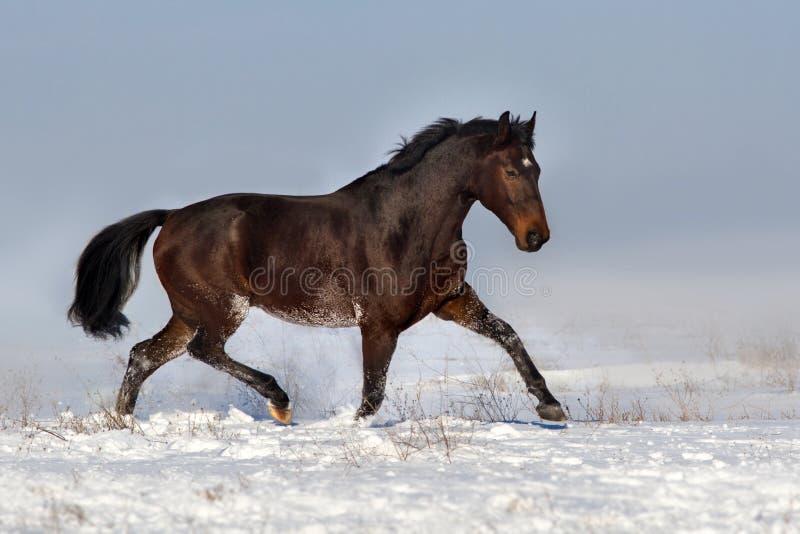 идти рысью снежка лошади стоковые фотографии rf
