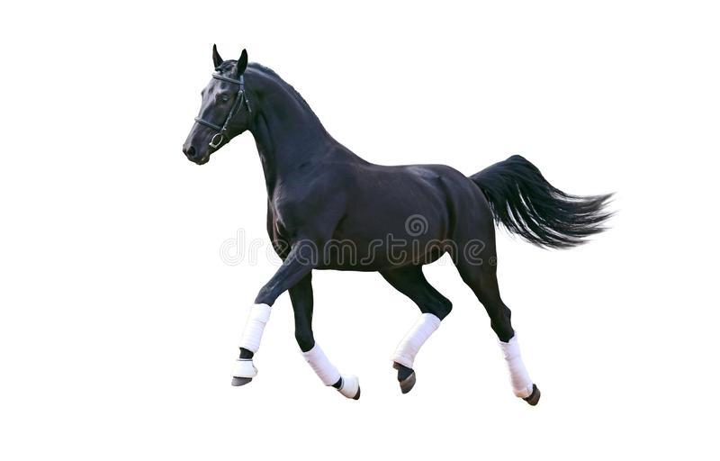 Идущая изолированная лошадь стоковые фото