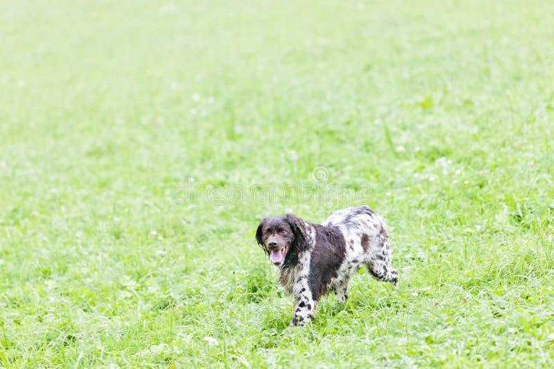 идущая охотничья собака стоковое фото