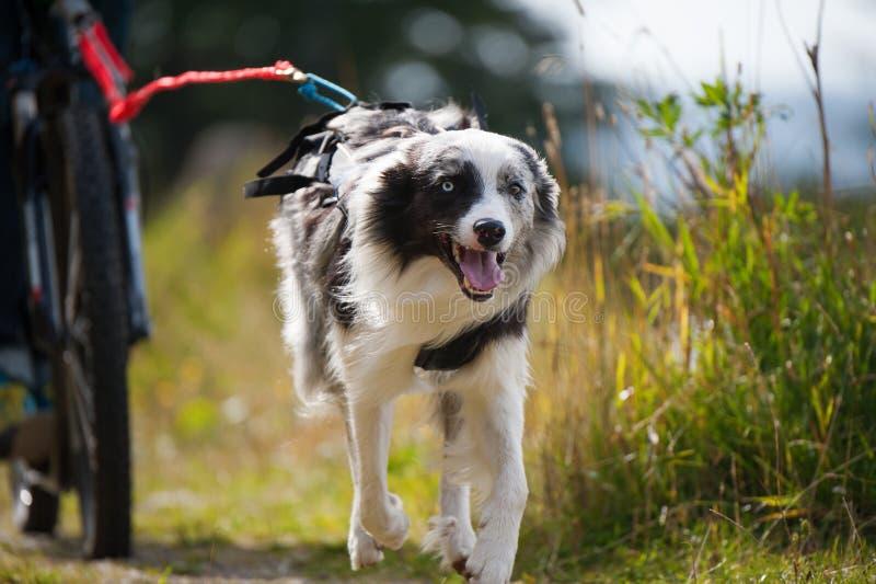 Идущая собака вытягивает велосипед стоковая фотография rf