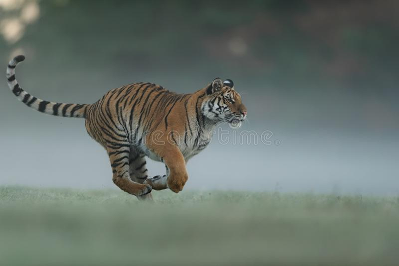 Идущий тигр на поле зеленого цвета утра Взгляд со стороны к опасному животному Profil тигра в агрессивном беге Сибирский тигр стоковые фото