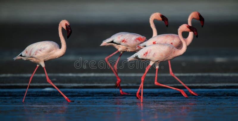 Идущ меньшие фламинго Научное имя: Несовершеннолетний Phoenicoparrus стоковая фотография