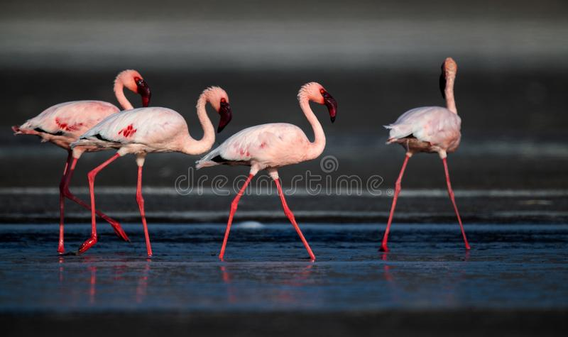 Идущ меньшие фламинго Научное имя: Несовершеннолетний Phoenicoparrus стоковые фотографии rf