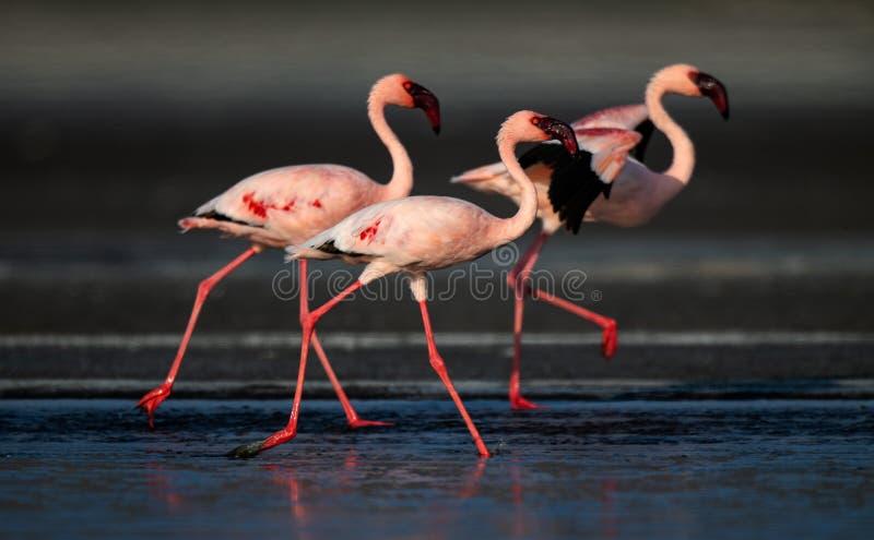 Идущ меньшие фламинго Научное имя: Несовершеннолетний Phoenicoparrus стоковая фотография rf