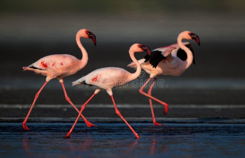 Идущ меньшие фламинго Научное имя: Несовершеннолетний Phoenicoparrus стоковые фото