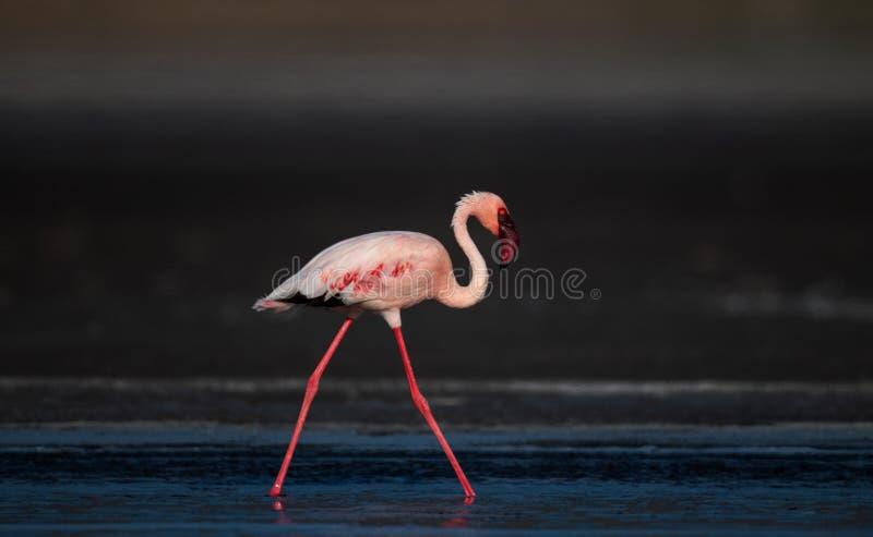 Идущ меньший фламинго Научное имя: Несовершеннолетний Phoenicoparrus стоковое фото rf