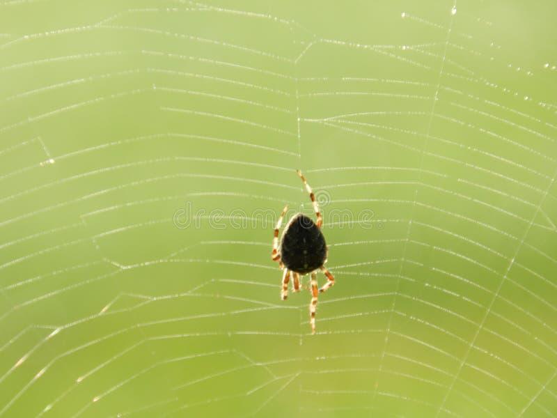 Идя паук сада в росной сети стоковое изображение rf