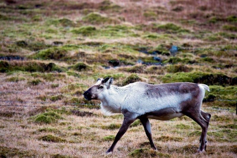 Идя северный олень на земле выгона стоковые изображения rf